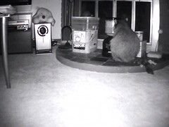 00606E906269(IPCam 3)_m20110709195753 (TheApps4U.com) Tags: camera food pet house motion animal living video eating candid room wildlife indoor raccoon stealing sensing
