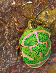 Colorful Hemiptera, Poecilocorus lewisii (aeschylus18917) Tags: macro green nature japan bug insect gold nikon g micro  saitama nikkor stinkbug f28 vr sayama saitamaken 105mm truebug insecta  105mmf28  hemiptera heteroptera scutelleridae 105mmf28gvrmicro poecilocorislewisi saitamaprefecture  d700 nikkor105mmf28gvrmicro  sayamashi danielruyle aeschylus18917 danruyle druyle   akasujikinkame