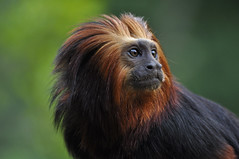 Golden-headed Lion Tamarin (Truus & Zoo) Tags: netherlands animals zoo nederland endangered apenheul apeldoorn dierentuin leontopithecuschrysomelas goudkopleeuwaapje goldenheadedliontamarin specanimal