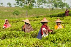 Tea Pickers Tasting Tea Leaves - Srimongal, Bangladesh (uncorneredmarket) Tags: people tea bangladesh teagardens teaestates manuallabor srimongal teaplantations ruralbangladesh teapickers sylhetdivision sreemangal