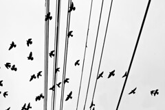 The birds (saharsh) Tags: bw white toronto black monochrome birds silhouette cables wires
