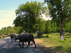 Water buffaloes by luigig