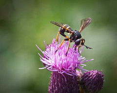Hoverfly (Tom Bech) Tags: flower macro green yellow purple stripes thistle hoverfly blomsterflue