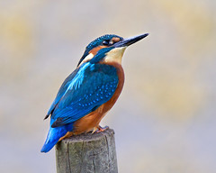 Tonight at Brandon 2 (Andrew Haynes Wildlife Images) Tags: bird nature wildlife kingfisher coventry warwickshire ajh2008