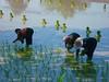 P1010081a (A_Hawaiiman) Tags: tractor thailand rice campagna antiquariato planting depoca semina trattore macchine vigneto forestale frutteto contadino giardinaggio cassone irrigazione forwarder agricolo macchinedepoca rimorchi orticoltura agricoltore coltura antiquefarm stoccaggio mietitrebbie rotopresse arboricoltura falciatrici spandiconcime antiquariatoagricolo fieniazione aratrici erpici mietitrici stoppiatori vendemmiatrici esboscatori segaacatena