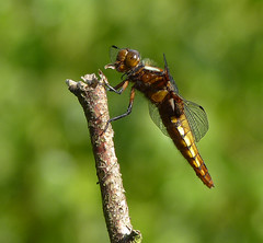 Female Broad-Bodied Chaser (Garry1968) Tags: female chaser broadbodied