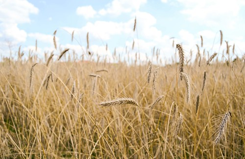 Wheat by NeilGHamilton, on Flickr