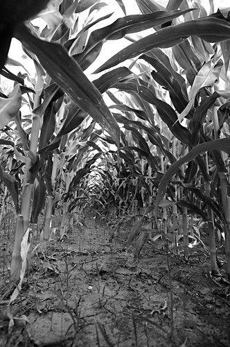 Day 198 - Iowa Corn by Tim Bungert