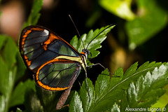 Translucent wings of the butterfly. (alelignos) Tags: macro nature butterfly wings natureza borboleta translucent asas transparentes