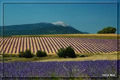 Le Mont-Ventoux couleur lavande (Patchok34) Tags: france nikon lavander lavande nationalgeographic montventoux drme greatphotographers kartpostal mywinners flickraward francelandscapes nikonfrance nikonflickraward flickraward5