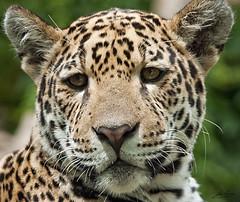 Jaguar (Jan Linskens) Tags: cats animal animals cat zoo katten kat feline krefeld katze jaguar dieren pantheraonca wildkatze zookrefeld superaplus aplusphoto fotoclubvenray wwwkrefelderzoocom