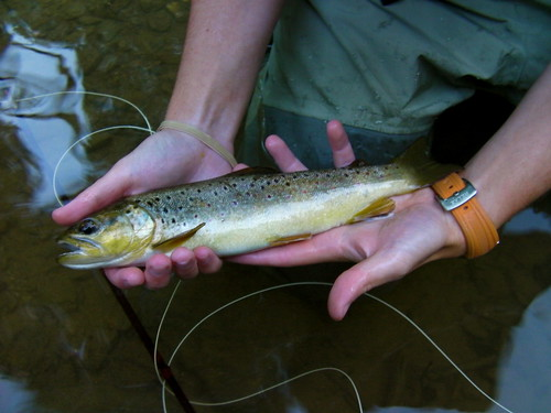 Healthy Wild Brown Trout