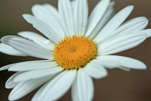 Daisy 2011 by kayaker1204