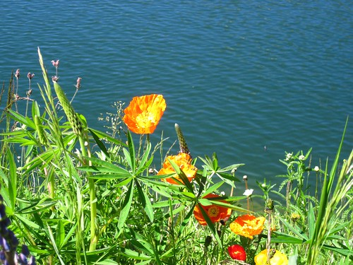 Austrian poppies
