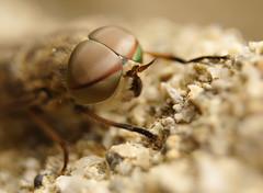 Taon des boeufs (rj@ubertsb) Tags: insecte tabanus bovinus