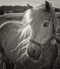 Blondie (uhx72) Tags: bw horse white black animal backlight hair pferd mane mhne