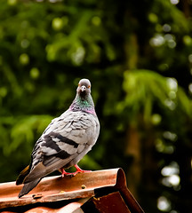 little PIGEON .. [in ANGRY] (Kanishka****) Tags: india bird birds animal canon hp dof bokeh pigeon smooth sharp crisp manali samrat kanishka 18135mm rofof kanishkasamrat canon550d
