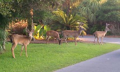 Deer on Fripp Island