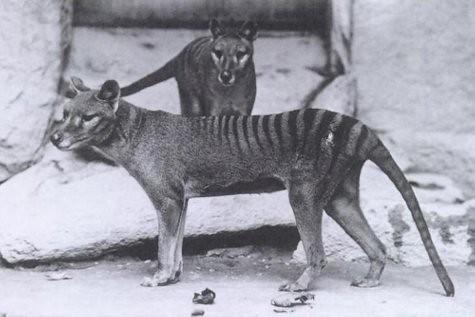 11thylacinus