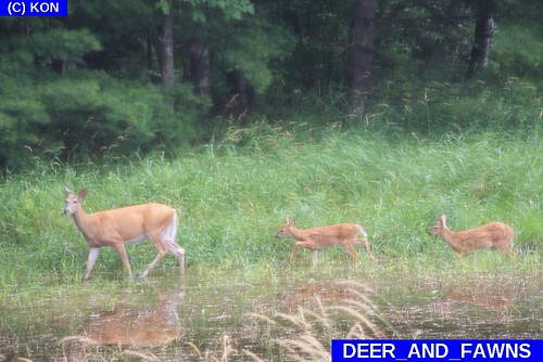 DEER and FAWNS
