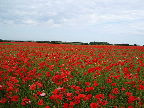 Poppy field by A Crooked Sixpence