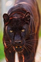 [フリー画像] 動物, 哺乳類, 豹・ヒョウ, 201107271100