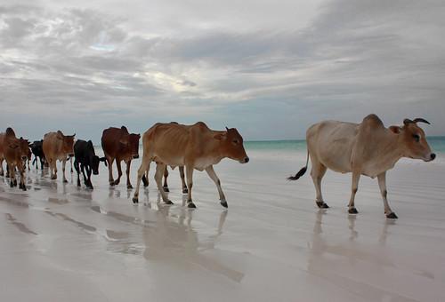 Al pascolo in spiaggia (Cows on the shore)