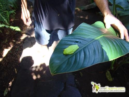 Green Frog in Tortuguero