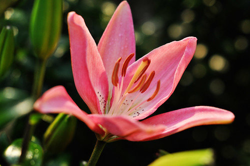 Pink Asian Lily