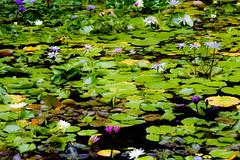 Everything (Thomas Hawk) Tags: flowers flower green atlantis waterlilies caribbean lilypads bahamas nassau paradiseisland thecove thebahamas nymphaeaceae