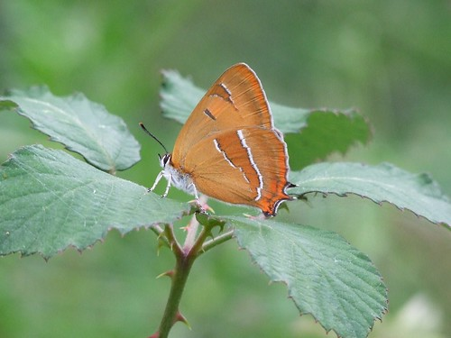 Brown Hairstreak (female) by Lynmiranda