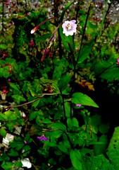 Epilobe des montagnes=Epilobium montanum