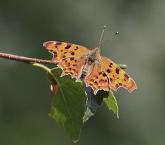 Comma (don.carey.All my photos have FULL Copyright on the) Tags: west flickr explore heath end comma brentmoor nymphalis calbum