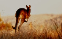 Roo taking off in the strong afternoon sun. Canberra, Australia.  2011 (PROSECMAN) Tags: afternoon australia kangaroo canberra roo paddock wintersun tomcrossanphotography