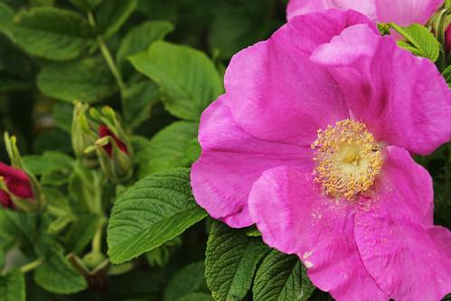 Wild Rose (7)