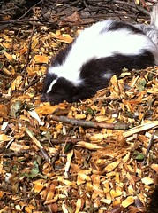 Sunbathing skunk