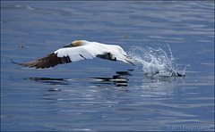 northern gannet. (evelyng23) Tags: park sea summer canada bird nature water flying interestingness quebec wildlife july sigma explore national northern avian 129 gannet aficionados bonaventureisland morusbassanus skidding 2011 i500 150500mm evelyng23 pentaxk5 7312011