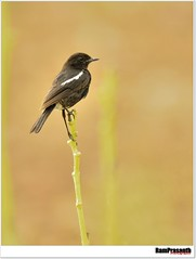 Pied bushchat (FLASH MEDIA CREATIONS) Tags: india bird nature birds advertising photography nikon fashionphotography creative 28 ram tamilnadu coimbatore designing professionalphotography 2x 400mm 200mm foodphotography cbe productphotography fmc industrialphotography piedbushchatmale advertisingphotography ramprasanth jewelleryphotography photographycompany designinglogo blinkagain flashmediacreations productphotographyincoimbatore industrialphotographyincoimbatore professionalphotographysolutions photographyprintinglogo coimbatoreweb ramprasanthphotography