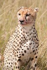 Majestuoso (jsmoral) Tags: kenya nairobi masaimara mamifero guepardo