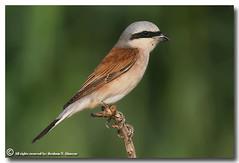 Red Backed Shrike (ibrahem N. ALNassar) Tags: red bird canon eos n l kuwait usm f56 backed ef shrike 30d 400mm    alnassar  ibrahem   ibrahemphotocom