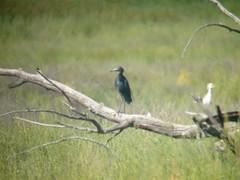 bird birds utah vagrant mega nationalwildliferefuge caerulea ouray rarity ardeidae rarities wader ciconiiformes egrettacaerulea egretta uintah lbhe extralimital