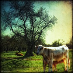 breakfast time (jesuscm [2 weeks off]) Tags: sky tree field breakfast arbol cow milk nikon feeding pasture cielo campo desayuno leche vaca veal ternero dehesa motat alimentacion tatot jesuscm magicunicornverybest magicunicornmasterpiece artistoftheyearlevel3 artistoftheyearlevel4 asquaresuperstarstemple