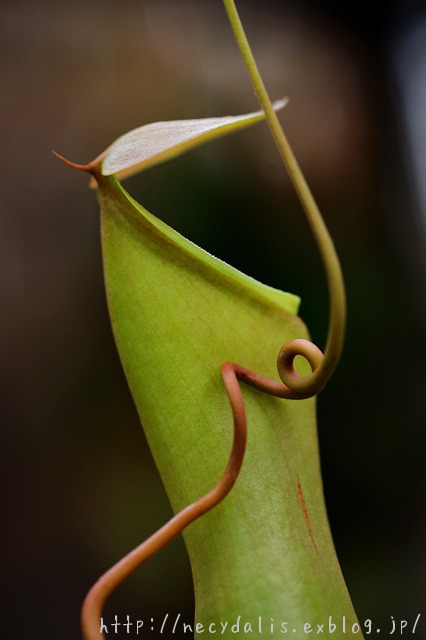 Nepenthes...