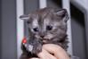 20110731 Kittens-119.jpg (Tim Ebbs) Tags: blue cats cute grey eyes small cream fluffy kittens tiny playful markings britishshorthair britishshorthaired