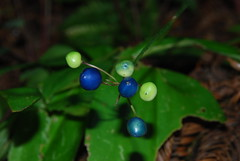 Berries, Closeup (jillmotts) Tags: plant idplease blueberry unknown openspace openspacepreserve purisimacreekredwoods