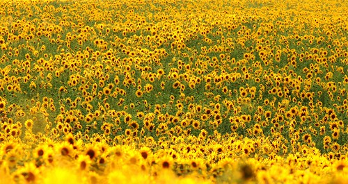 Field of Sunflowers by rob orchard