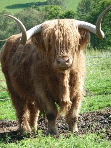 Hamish, Highland Bull