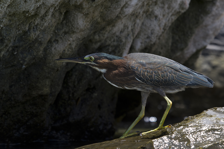 072811_greenHeron01
