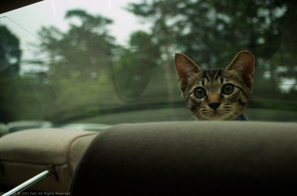 Driving with my cat #1