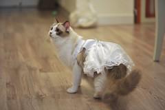 Marry me ? (Jerry & Grace) Tags: pet cat taiwan samantha ragdolls ragdoll  2011  fairydolls
